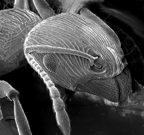Elektron mikroskobu - karınca